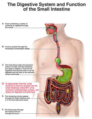 Function of Small Intestine and Digestive System