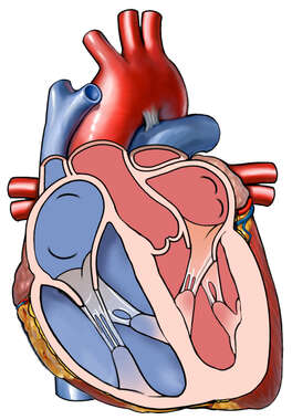 Cut-away View of the Heart