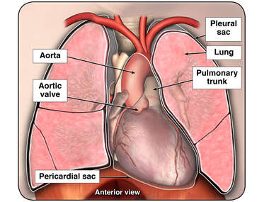 Anatomy of the Heart and Lung
