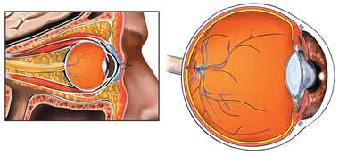 Normal Anatomy of the Orbit and Eye