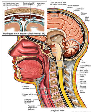 Normal Anatomy of the Brain, Spinal Cord and the Meninges