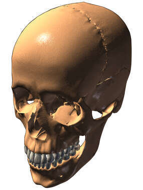 Adult Skull 3D, Superior/Lateral View