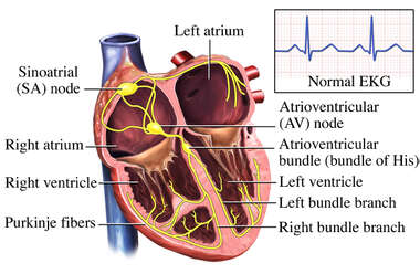 Electrical System of the Heart
