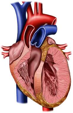 Heart Chambers and Great Vessels