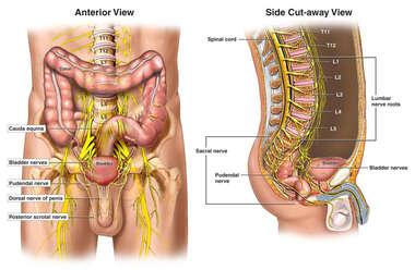 nerves of the male pelvis
