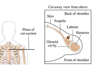 Normal Shoulder Joint Viewed from Above