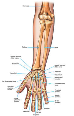 Anatomy of the Forearm, Wrist and Hand Bones