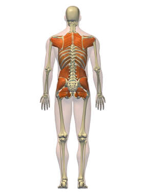 Anatomy of the Muscular System of the Back and Hips, 3D Posterior Male
