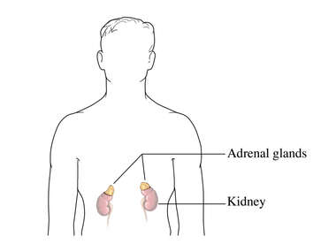The Adrenal Glands