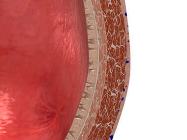 Bladder Cross-Section