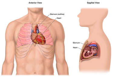 Anatomy of the Heart and Sternum