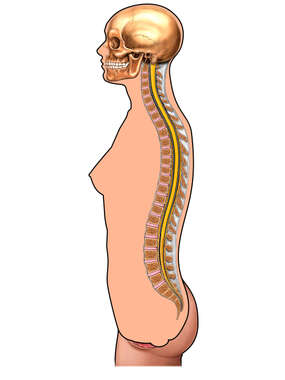 Spine within Female Figure: Sagittal View