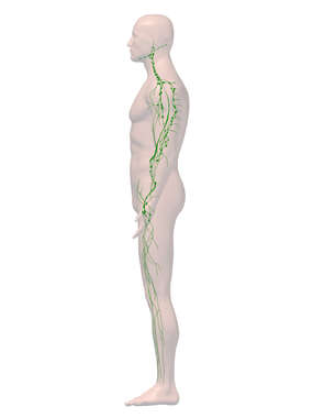 Lymphatic System - 3D Male