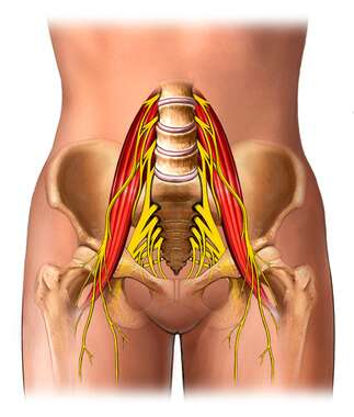 Muscles and Nerves of Lower Back