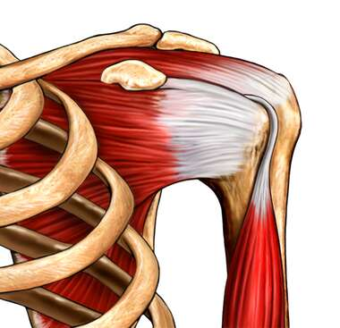 Rotator Cuff, Normal Anatomy