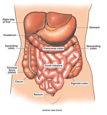 Anatomy of the Large and Small Intestines