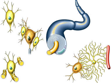 Nerve Cells (Neurons)