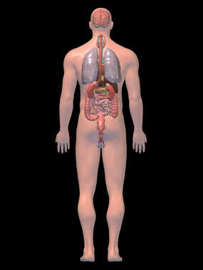Anatomy of the Digestive, Nervous, and Respiratory System, 3D Posterior Male