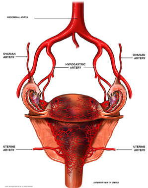 Arterial (Blood) Supply of the Uterus