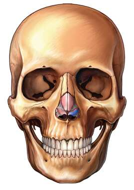 Nasal (Nose) Cartilages