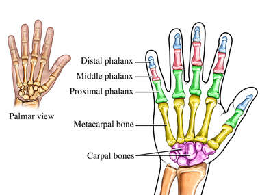 Anatomy of the Hand and Wrist Bones