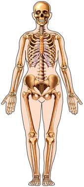 Skeletal System in Figure: Anterior View