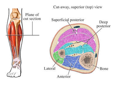Normal Compartments of the Lower Leg