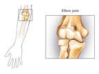 The Elbow Joint