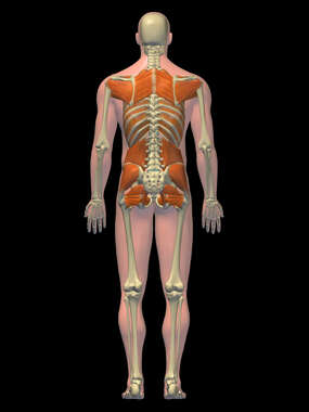 Anatomy of the Muscular System of the Back and Hips, 3D Posterior Male:BW