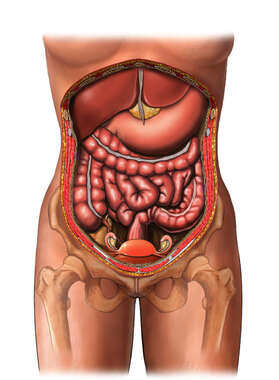 Female Abdominal and Pelvic Anatomy