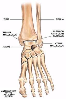 Normal Anatomy of the Left Ankle Region