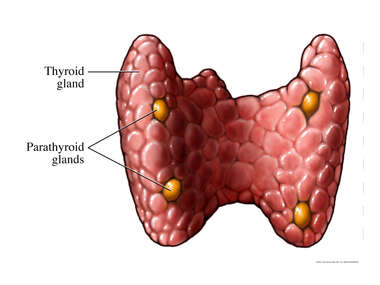 Thyroid and Parathyroid Glands: Posterior (Back) View