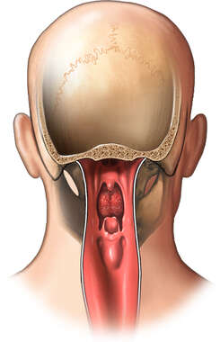 Posterior View of Pharynx (Pharyngeal) Anatomy