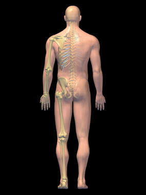 Anatomy of the Skeletal System, 3D Posterior Male-BW