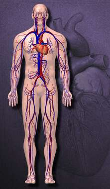 Anatomy of the Cardiovascular System, 3D Anterior Male