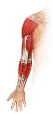 Musculature of Right Arm