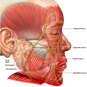 Facial Muscles and Nerves