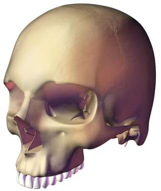 3D generated Oblique view of Skull