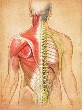 Anatomy of Back (dorsal musculature)