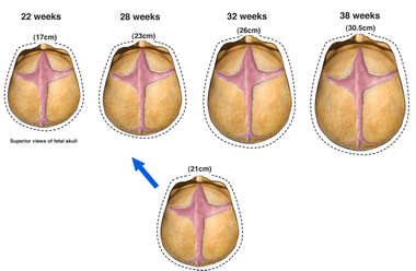 Fetal Skull Growth Chart