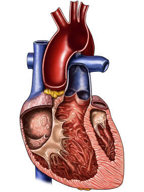 Heart and Great Vessels, Cut-way View