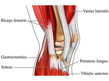Lateral Muscles of Knee