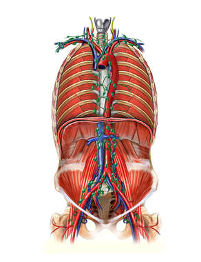 Lymph Nodes of the Posterior Thoracic and Abdominal Walls