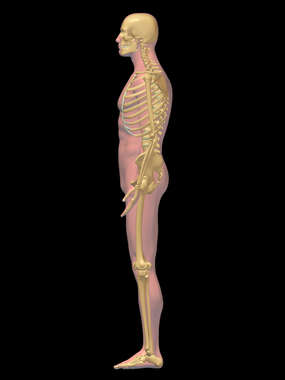 Lateral Male Skeleton (Skeletal System) - 3D