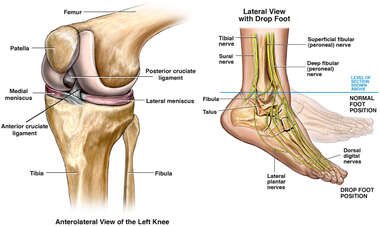 Normal Anatomy of the Knee and Lateral Foot Drop