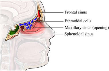 Anatomy of the Sinus Cavities
