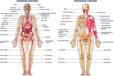 Human Anatomy: Anterior & Posterior Views