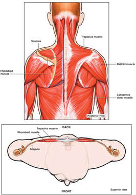 Intermediate and Superficial Back Muscles