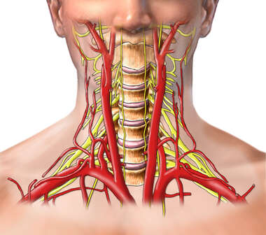 Arteries and Nerves of the Head and Neck