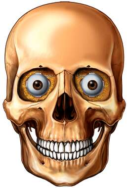 Skull with Eyes in Orbits